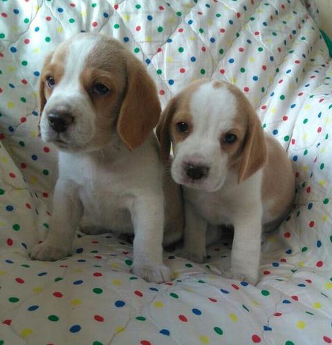 beagle limon