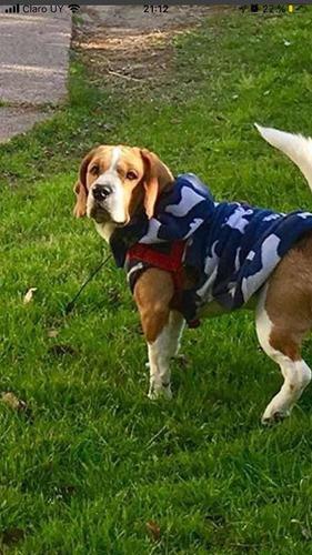 beagle macho para monta.