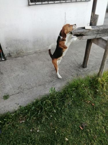 beagle para montas
