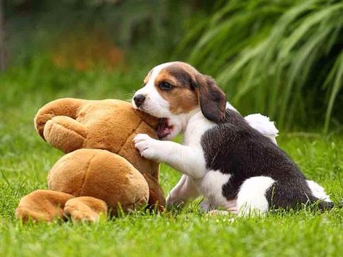 beagle prepare-se para o natal
