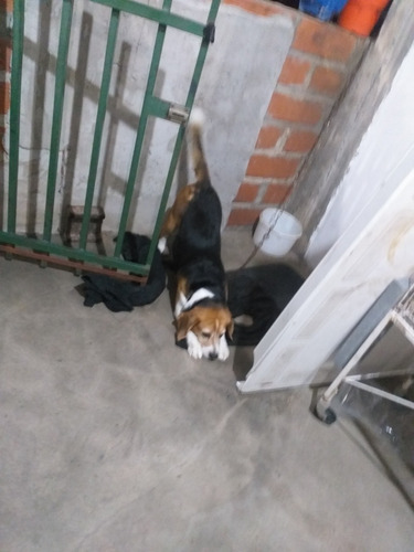 beagle servicio