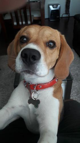 beagle tricolor macho busca pareja cruza
