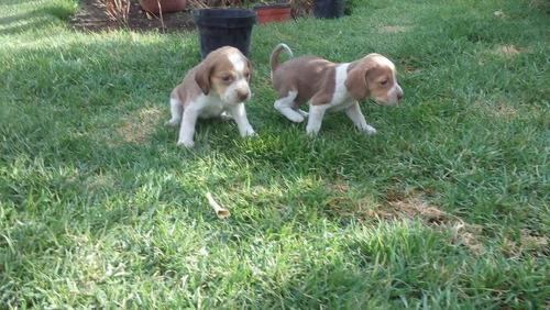beagles  cachorros