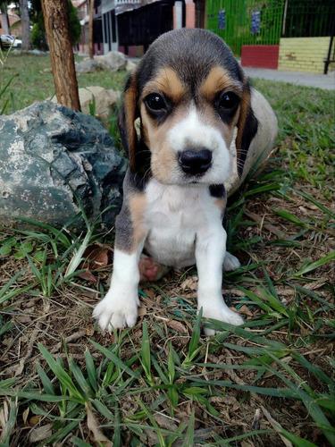beagles tricolr