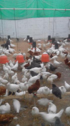 bebedero pollos campana automático 3pzs