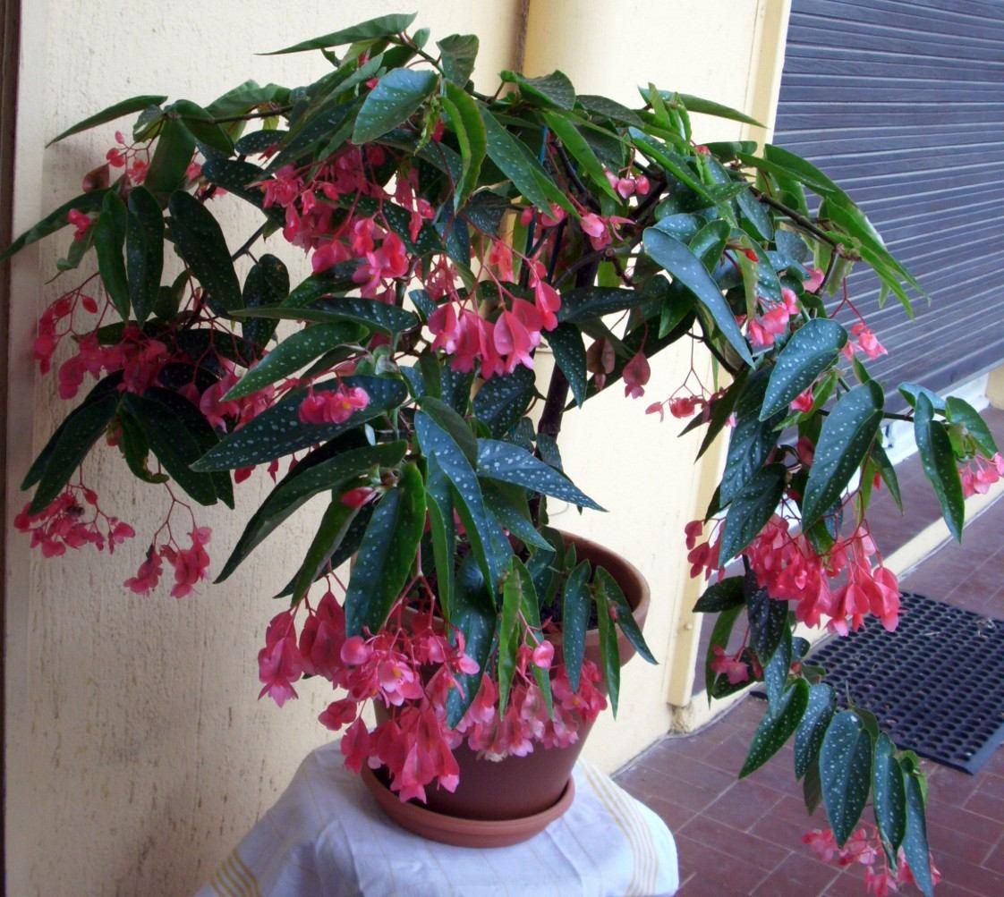 Begonia maculata pink sementes flor para mudas r 14 99 - Begonia d interieur arrosage ...