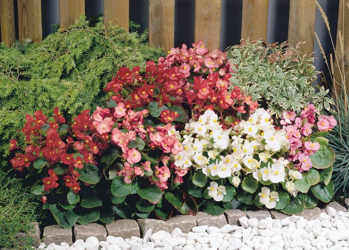 begonia semperflorens mix importada sementes flor para mudas r 9 99 em mercado livre. Black Bedroom Furniture Sets. Home Design Ideas