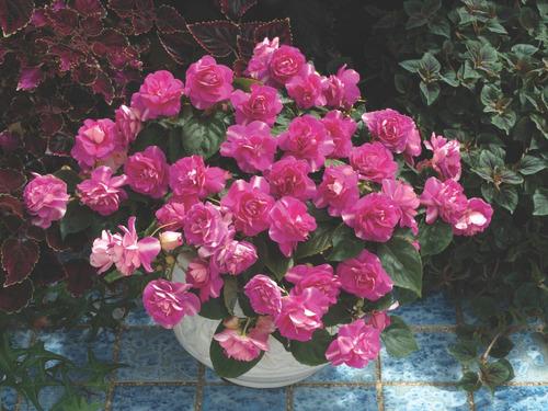 beijo de frade dobrado impatiens flor de camelia 20 sementes