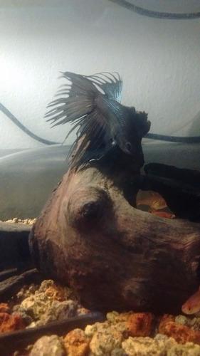 betta macho corona negro