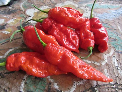 bhut jolokia a pimenta mais ardida do mundo - frete gratis
