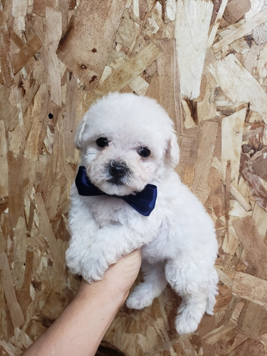bichon frise hermosos cachorros vip