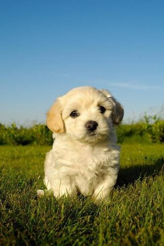 bichon habanero hermosos cachorritos