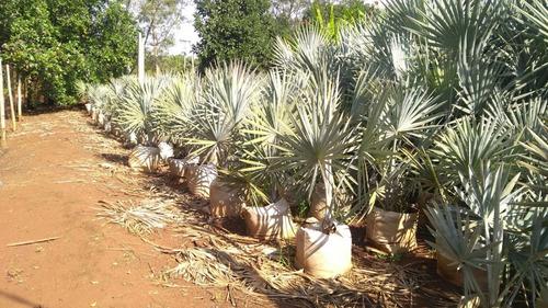 bismarcki nobilis - palmeira azul - muda 1,00m a 1,50m