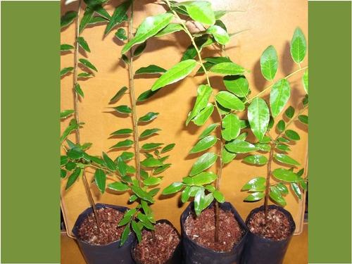 blanquillo, árbol nativo- melífero, hojas otoño rojas- cerco