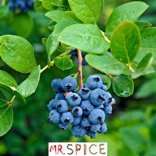 blueberry lowbush mirtilo anão sementes para mudas s/ frete