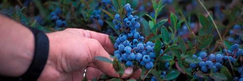 blueberry southern mirtilo de clima quente 20 sementes