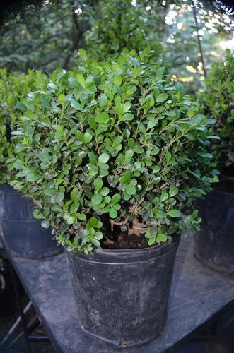 boj arbusto 30 cms diametro- redondo - ideal para dar formas