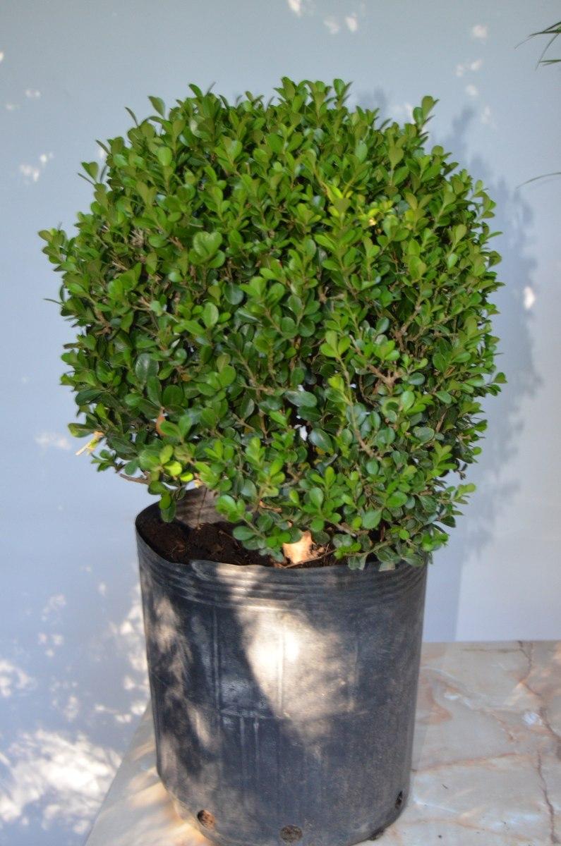 Boj Arbusto 35 Cms Diametro Redondo Ideal Para Dar