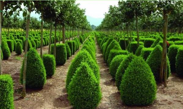 Boj arbusto 130 00 en mercado libre - Plantas de exterior resistentes al frio y calor ...