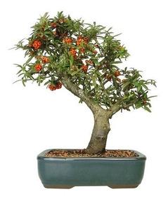 Mini Bonsai De Jabuticaba Planta Arvore Jardim Nº 7