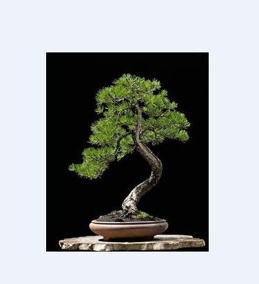 bonsai 12 libros cultivo, cuidados, consejos arte viviente