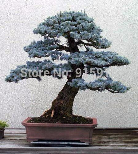 bonsai 60 semillas de raro abeto azul