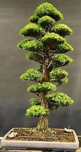 bonsai 60 semillas de sagrado cedro japones (envio gratis)