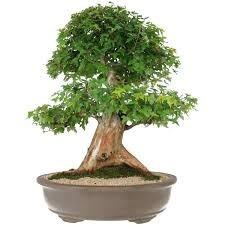 bonsai acer buergerianum plantas ornamentais mini arvores