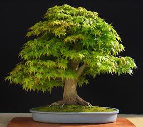 Bonsai Acer Negundo Jardinería En Mercado Libre Argentina