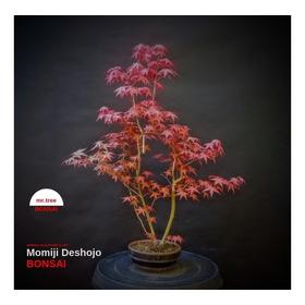 Bonsai Arce Rojo Japonés Deshojo - 100% Japanese