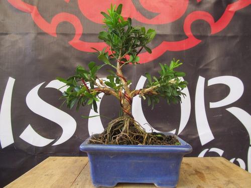 bonsai autoctono