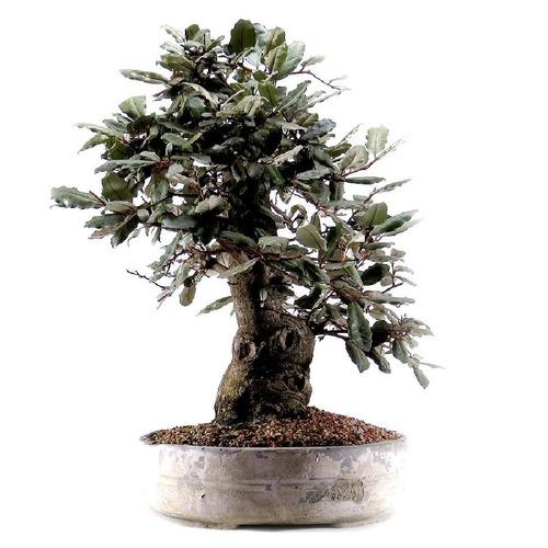 bonsai - bonsai eleagnus multiflora 30 anos