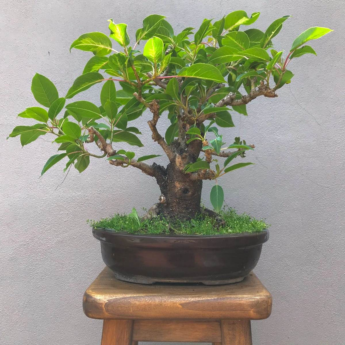 Tipos de bonsais de interior cool q tipos de plantas artificial bonsai plantas de interior with - Bonsais de interior ...