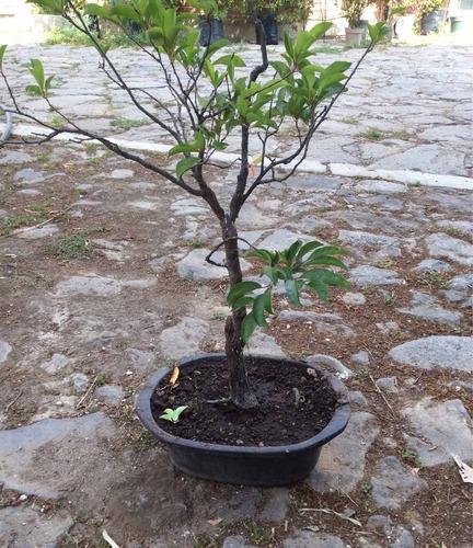 bonsai ciruelo