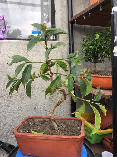 bonsai de café
