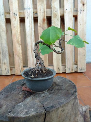 bonsai de ginkgo biloba