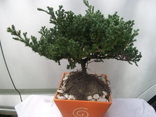 bonsai de junipero de 5 años