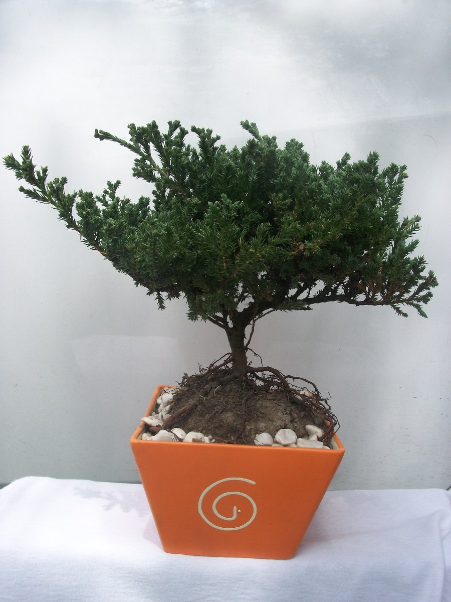 Bonsai de junipero de 5 a os en mercado libre for Bonsai costo