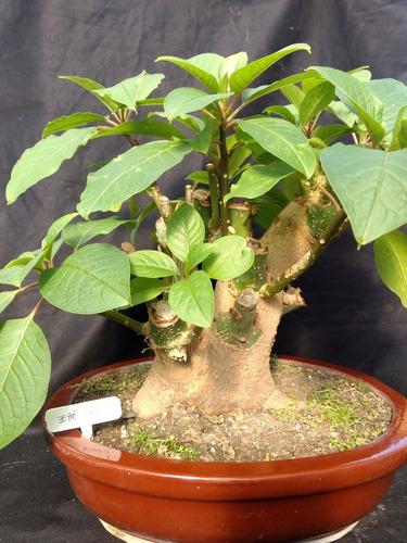 bonsai de ombú