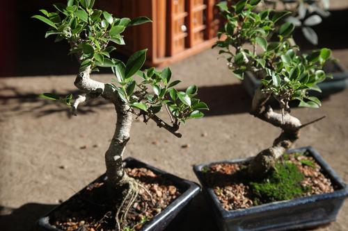 bonsai ficus retusa 12 años