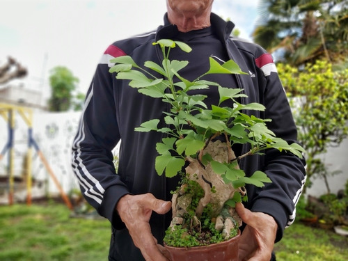 bonsai ginkgo biloba sobre roca