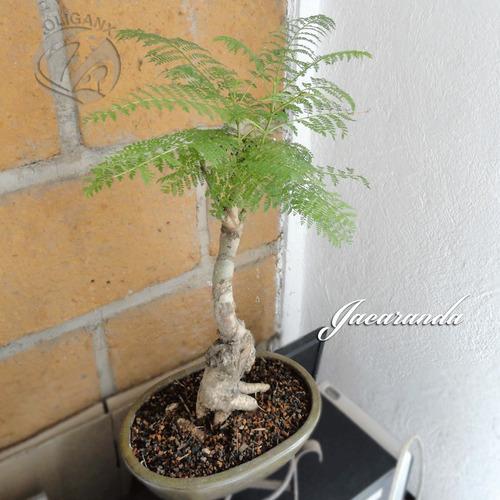 bonsai jacaranda 8 años