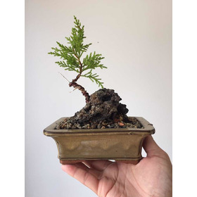 Bonsai Junípero