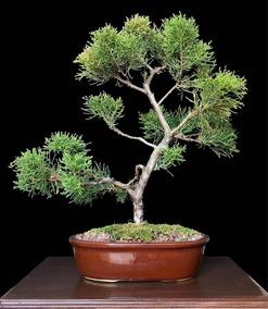 Tamariscifolia bonsai