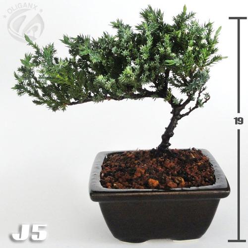 bonsai junípero nana 5 años