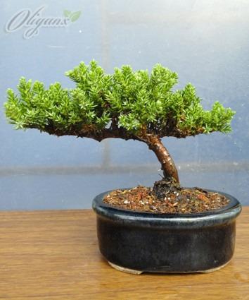 bonsai junípero nana, variedad de modelos