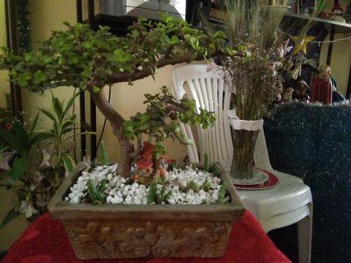 bonsai la millonaria