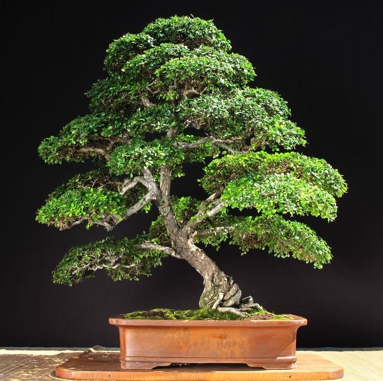 ¿Cómo se consigue hacer este tipo de ramas? Bonsai-olmo-chino-ficus-jacaranda-juniperu-bonsaienargentina-D_NQ_NP_838246-MLA26541875523_122017-F