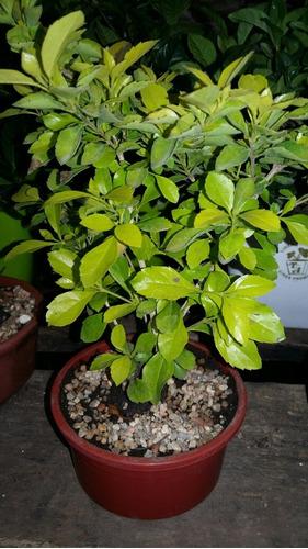 bonsai ombú, duraznillo y otros