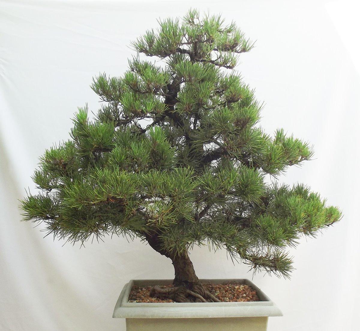 bonsai grandi